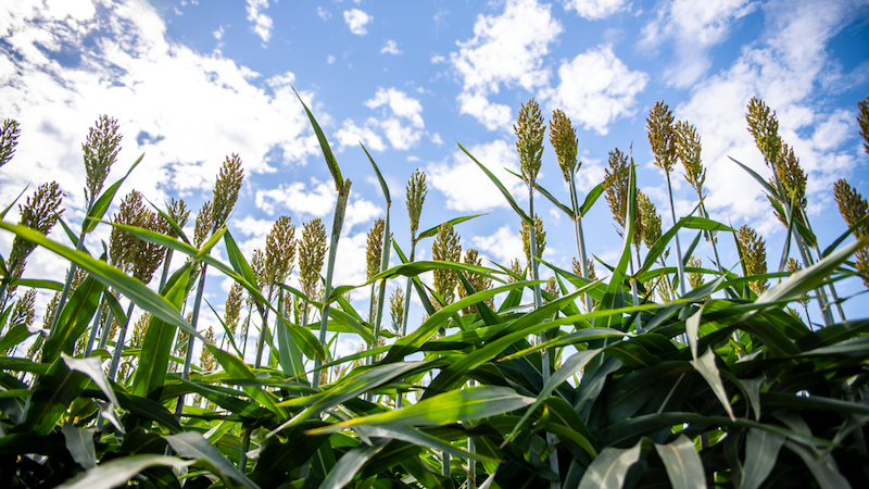 Sorghum, shown here at the Agronomy Field Headquarters in Davis, California, is a common bioenergy crop and was used in this study. (Credit: Marilyn Sargent /Berkeley Lab)