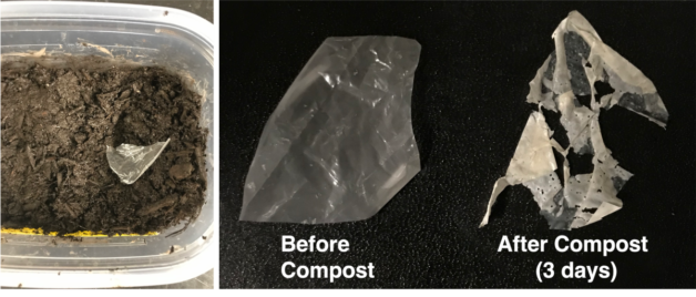 A modified plastic (left) breaks down after just three days (right) in standard compost and entirely after two weeks. (Courtesy of UC Berkeley)